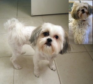 Lhasa Apso Dogs Benefit From Summer Puppy CutLife With Dogs And ...