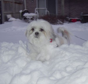 lhasa apso snow dogs winter play