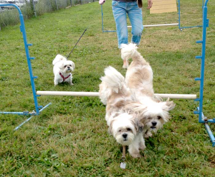 agility dog training lhasa apso small dogs meetup