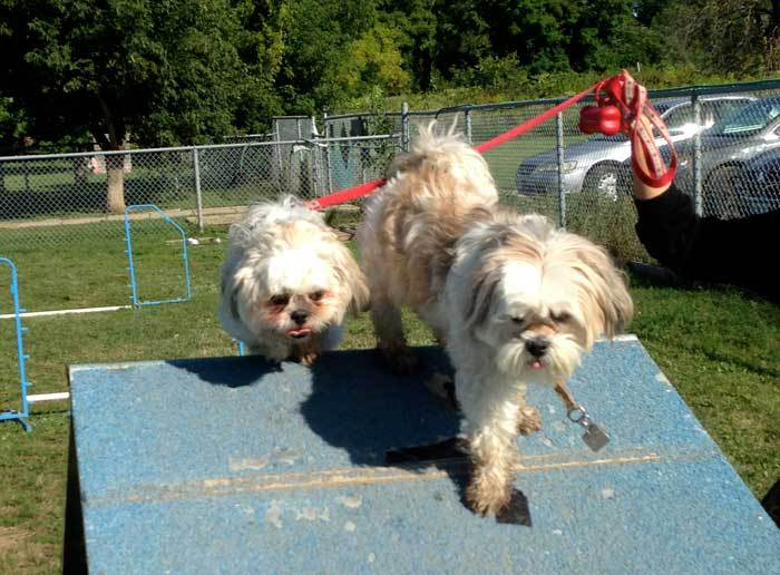 small dogs agility training lhasa apso