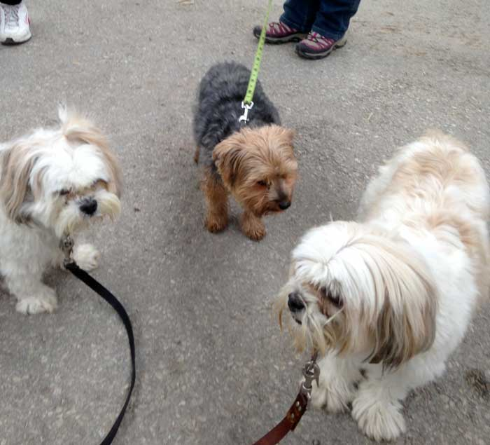 small dogs meetup group video toronto mississauga brampton dog friends
