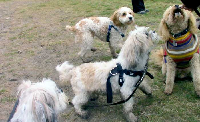 dog socialization small dogs mississauga toronto meetup groups