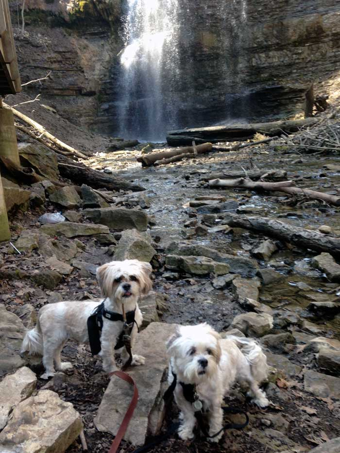 lhasa apso dogs older dogs small dogs group hamilton waterfalls