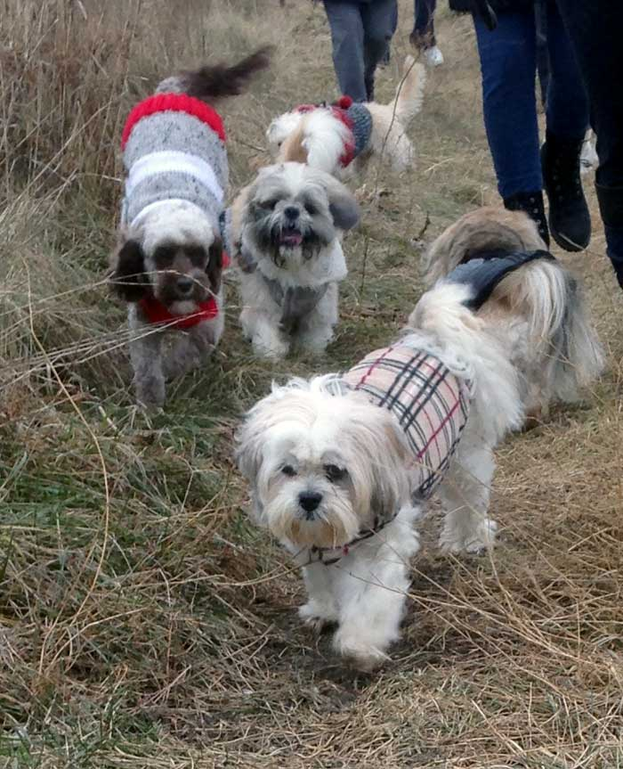 small dogs group walks mississauga peel region oakville toronto milton brampton