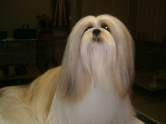Lhasa Apso Dogs Breed Information In Detail